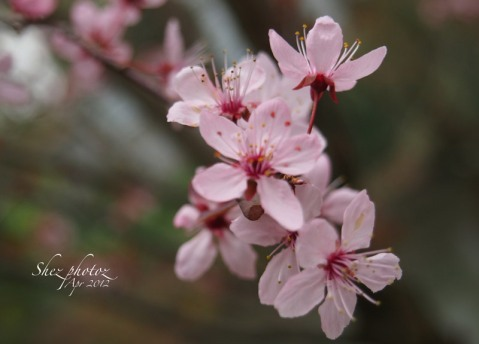 Pink plum blossoms have many delicate details in burgundy and hot pink