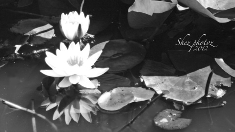 Black and White image of two waterlilies and one reflection